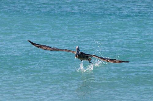 nature  birds  pelikan