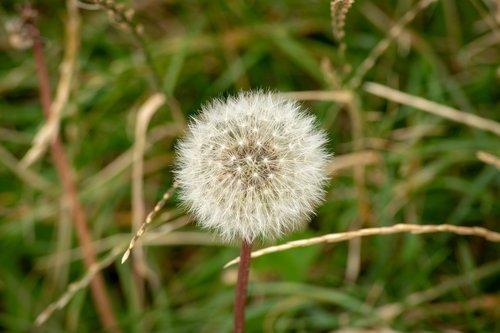 nature  dandelion  seeds