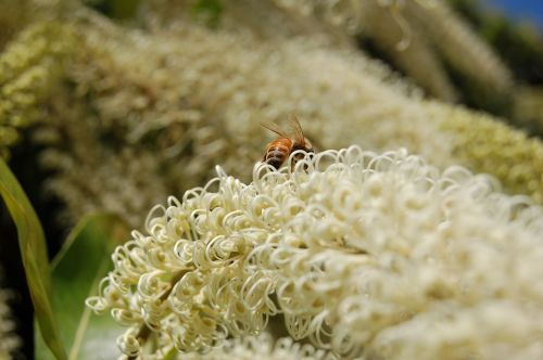 gamta,gėlė,gėlės,žydėti,žiedlapiai,bičių,makro,apdulkinimas,žiedas,apdulkinimas