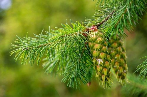 nature  plant  douglas
