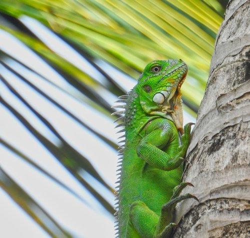 nature  bonaire  iguana