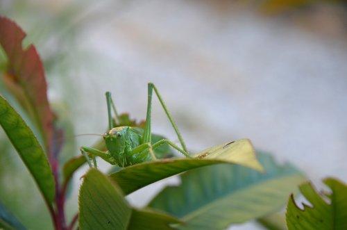 nature  bug  grasshopper