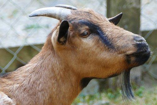 nature  animal enclosures  goat