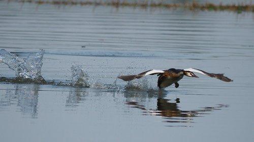 nature  birds  grebe
