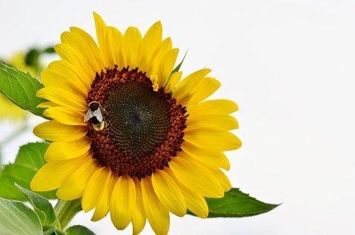 nature  sunflower  hummel
