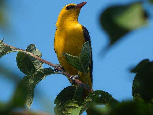 nature  birds  oriole