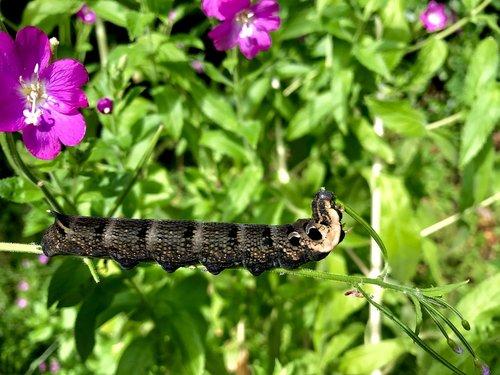 nature  caterpillar  butterfly