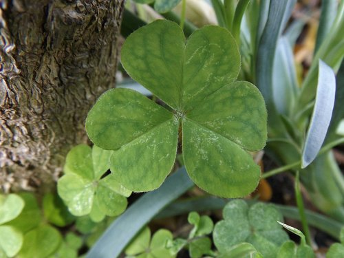 nature  green  clover