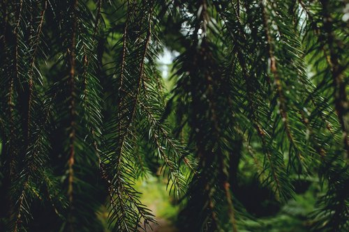nature  tannenzweig  green