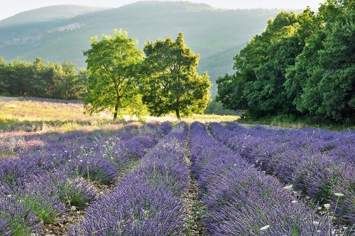 nature  landscape  lavender