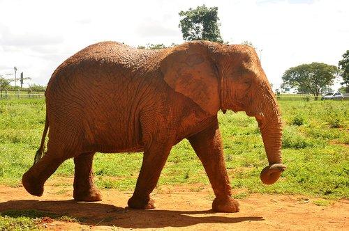 nature  fauna  elephant