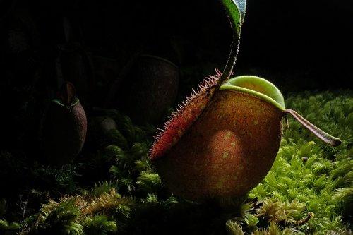 nature  pitcher plant  botanical