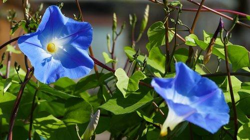 nature  garden  ipomoea hederacea