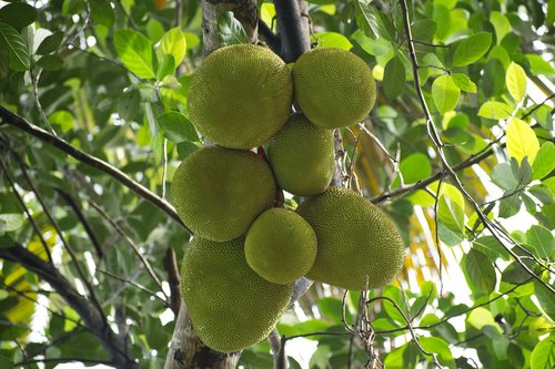 nature  green jack fruits  kerala