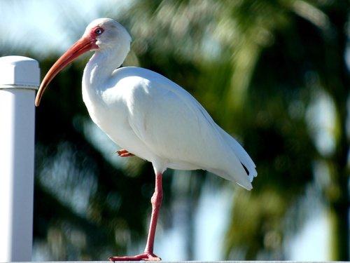 nature  birds  snow glossy ibis