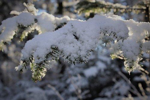 nature  snow  tannenzweig