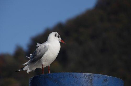 nature  bird  gull