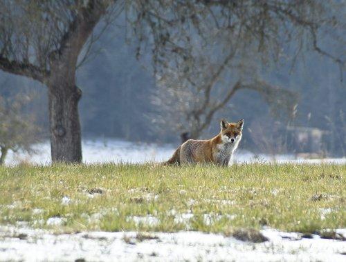 nature  fuchs  mammal