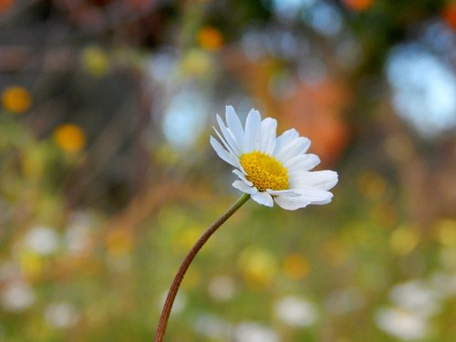 nature  flower  camomile