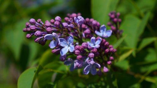 nature  plants  violet