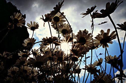 nature backlight flowers