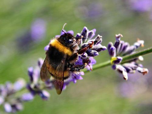 nature lavender purple