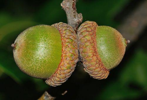 nature quercus oak