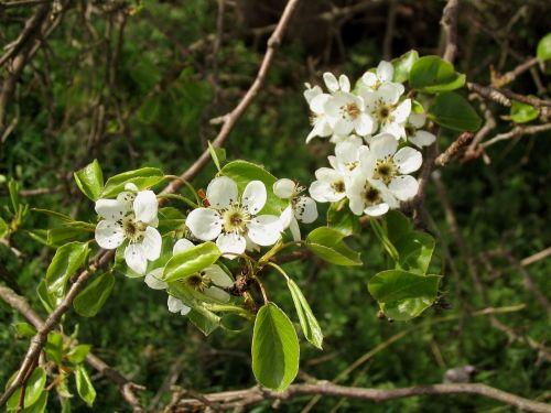 gamta,žiedas,žydėti,obuolių žiedas,žalias,balta,augalas