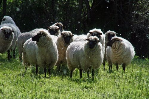 nature sheep silent