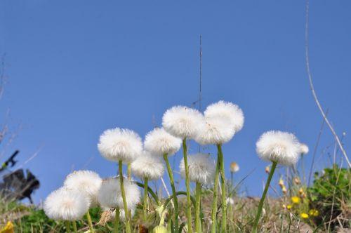 nature dandelions meadow