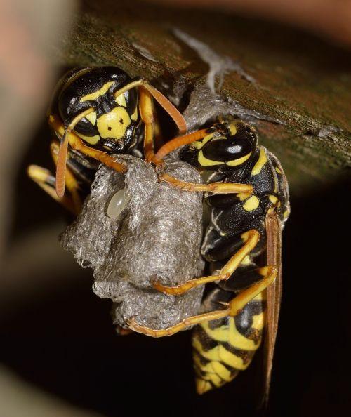 nature hymenoptera polistes