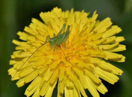 nature insects grasshoppers