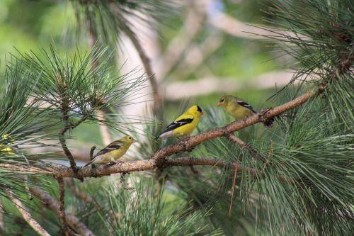 nature chickadee bird