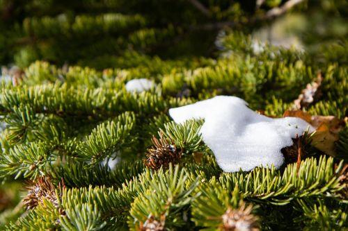 nature pine snow