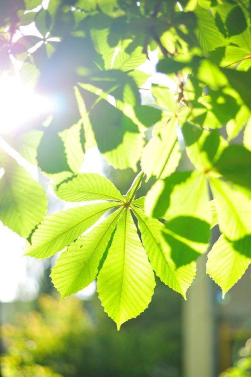 nature chestnut leaves
