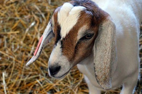 nature baby goat farm