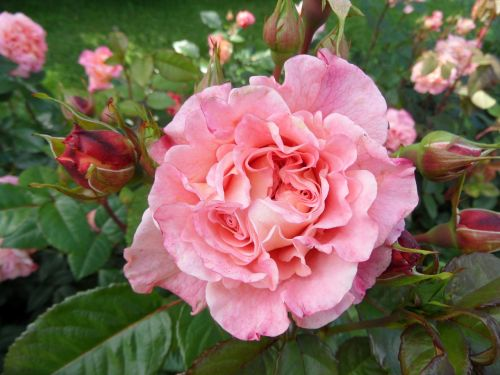 nature flower rose