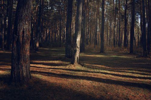 taiga pines nature