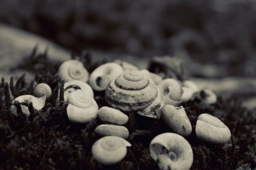 nature seashells black and white