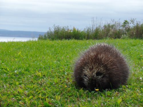 nature porcupine parc national forillon