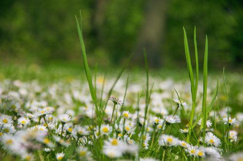 nature flowers daisies