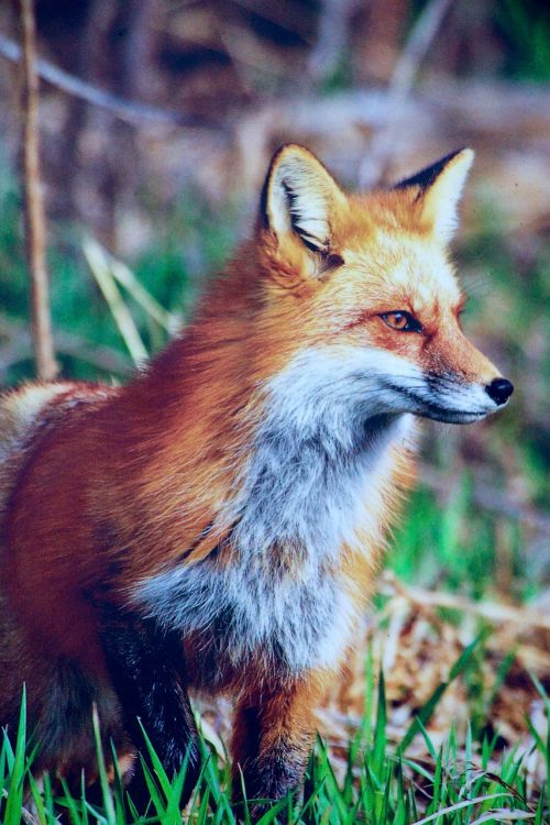 nature animals fuchs