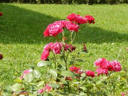 nature rose flower