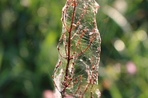 nature plant cobwebs