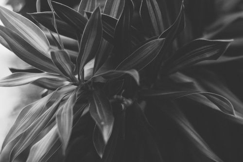 nature black and white plant