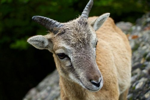 nature animals billy goat