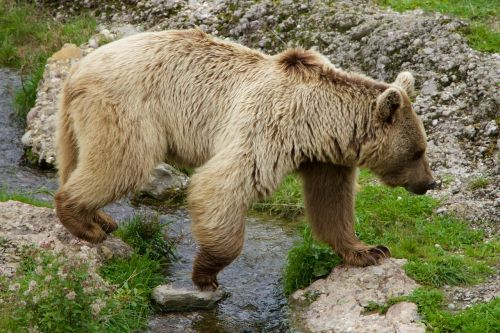 nature animals brown bear