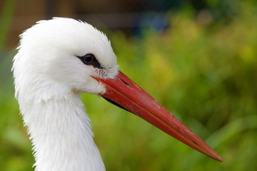 nature animals stork
