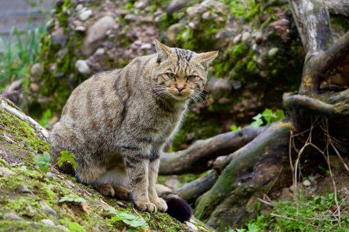 nature animals wildcat