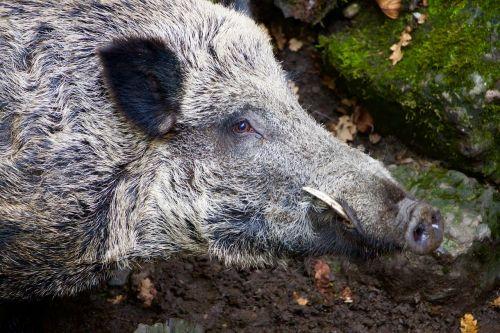 nature animals wild boar